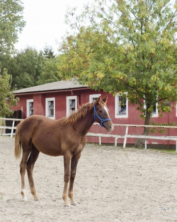 Young brown horse standing in an outdoor paddock in front of a stable  photo