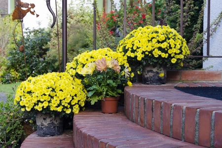 Chrysantemums plants and flowers in pots on a doorstep leading to a garden or patio.