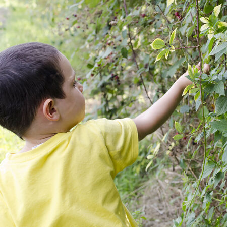 Child picking wild blackberries in hedge in nature.  photo