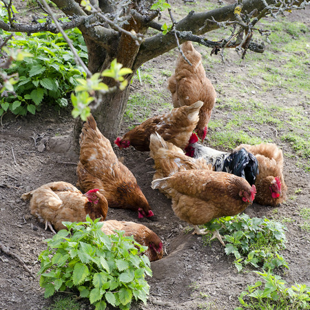 Flock of brown chicken on free range farm Stock Photo