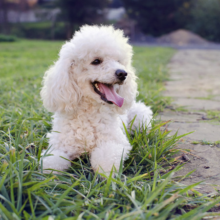 White poodle dog on a grass in a garden. photo