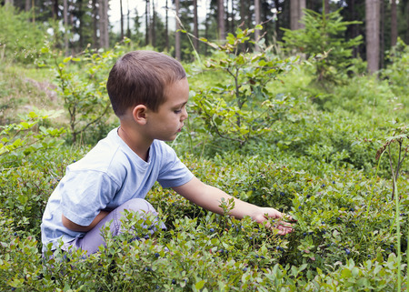 blueberry: Child picking wild blueberries in a blueberry  forest