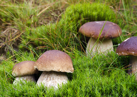 boletus: Wild edible mushrooms in green moss in forest.
