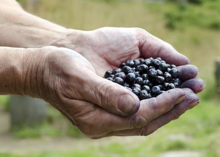 Fresh organic blueberries in hands of a man