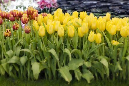 Yellow tulips in flower bed in a garden