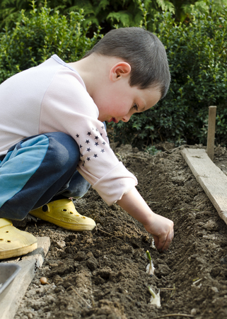Child raking ground and planting small garlic plants in the garden in spring.