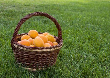 Apricots fruit in wicker basket on a green grass