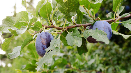 Plums ripening on a branch of plum tree in a garden