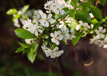 Branch of blossoming wild cherry tree