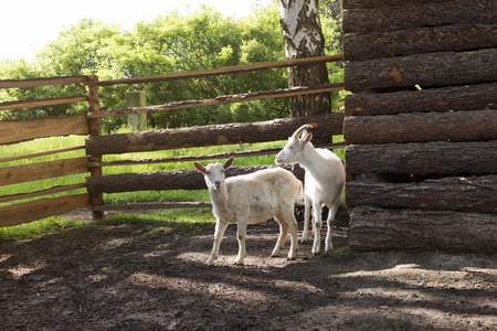 Two goats inside the fence on a eco farm.