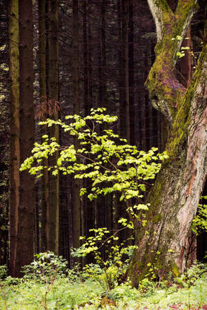 New branch on an old  tree of fresh green  leaves in sun light against dark forest background.