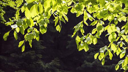 Branch of fresh green beech tree leaves in sun light against dark forest background. Stock Photo