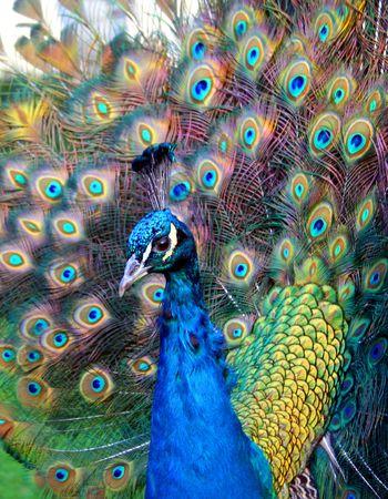 preening: Beautiful colourful preening peacock