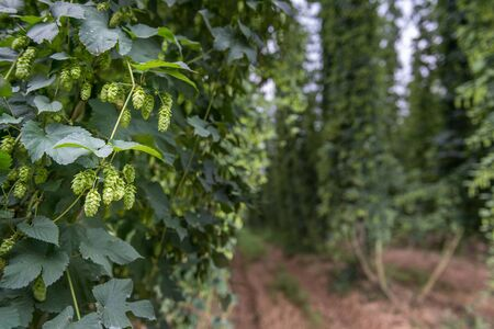 Hops branch with hops row in the background. Horizontal image