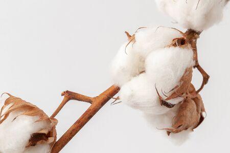 A sprig of cotton on white background close up Banco de Imagens