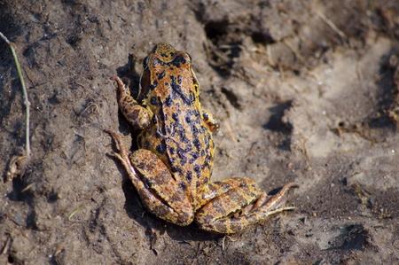 European toad, close-up