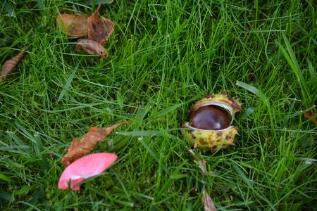 Ripe open chestnut fruit on grass