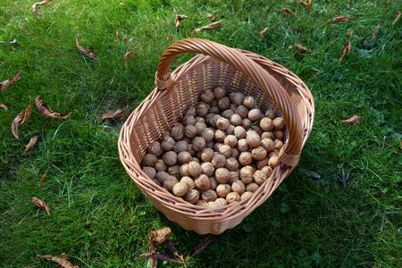 Crop of walnuts in a wicker basket on grass
