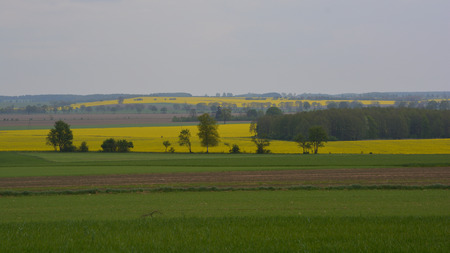Landscape with trees and canola fields