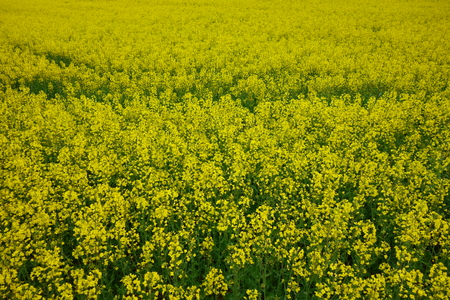 Yellow and green, blooming canola fields