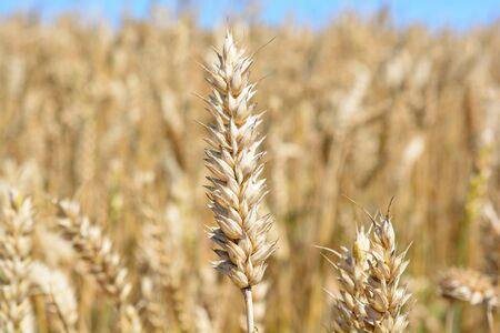 A ripe oar in a wheat field, closeup