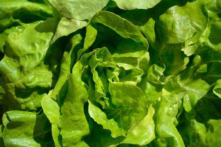 Fresh butterhead lettuce, closeup