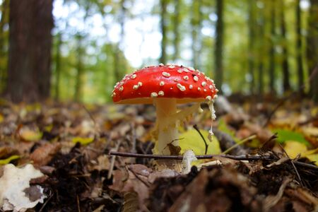 Amanita muscaria, the most iconic poisonous mushroom of the European forest 免版税图像