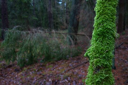 Mossy branch closeup, dark winter forest in the background
