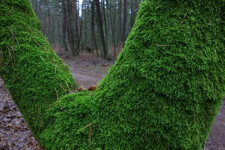 Forked trunk covered with moss, dark wintry forest in the background