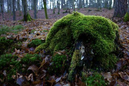 Mossy stump in a winter forest scenery Zdjęcie Seryjne
