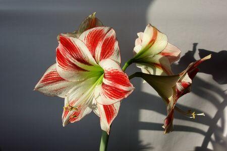 Amaryllis pot plant in bloom Zdjęcie Seryjne