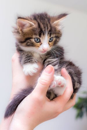 harming: Charming kitten on a womans hands Stock Photo