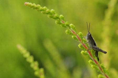 Portrait of grasshopper on lime green heather in the garden Stock Photo - 27353080