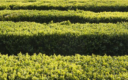 abstract image of boxwood hedge with play of light in sunny day