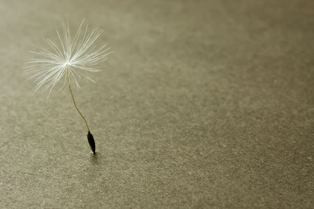 extreme close-up (macro) isolated dandelion seed with limited focus on the grainy dark background