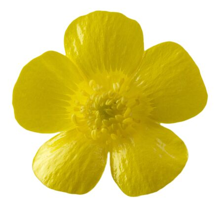 buttercup flower: Isolated buttercup flower from upright view