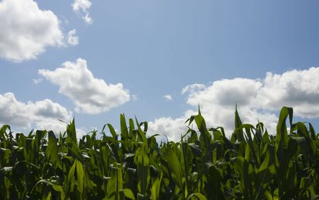 clouds scape: corn filed scape on the background of blue sky with clouds