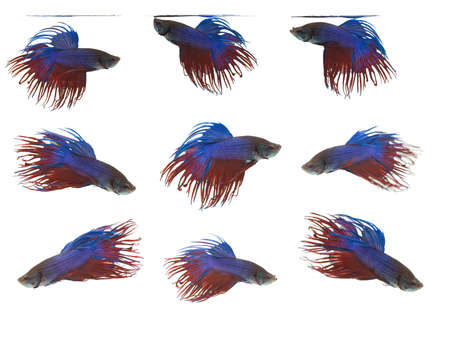 group of Siamese fighting fish isolated on white background