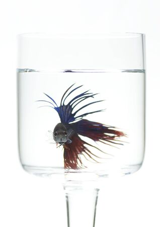 Siamese fighting fish isolated in the glass photo