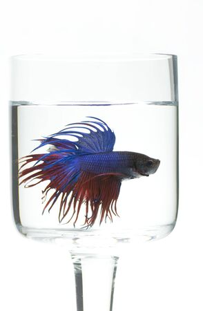 betta: Siamese fighting fish isolated in the glass