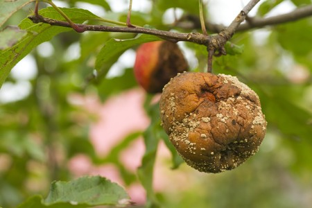 close up of rotten apple with mildew on tree in orchard