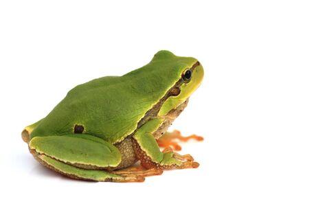 isolated on white background sitting tree frog (hyla) in profile full body photo