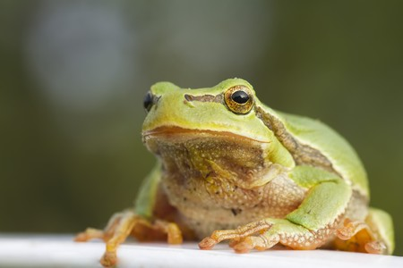 green tree frog: close up of green tree frog sitting on looking straight at camera