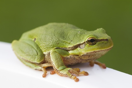brink: tree frog sitting on with brink with selective focus Stock Photo