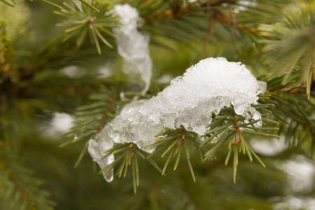 full frame background of close up pine with clump of snow photo