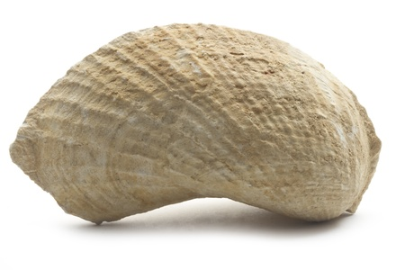 fossilized: single limestone fossilized mussel isolated on white background