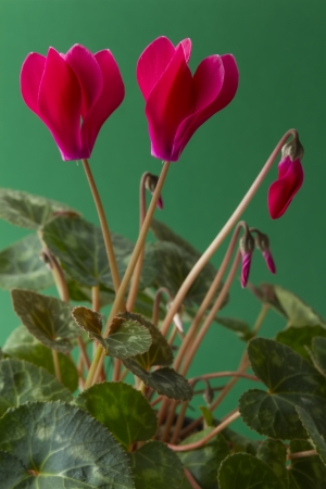 close up cyclamen flower plant photo