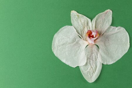 wilted: wilted white orchid flower on paper