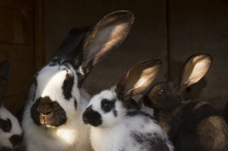 husbandry: group, family farm  rabbits in cage, husbandry animal background