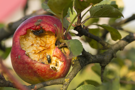 sicken: close-up of disgusting  broken apple on tree eaten by fly and wasp Stock Photo